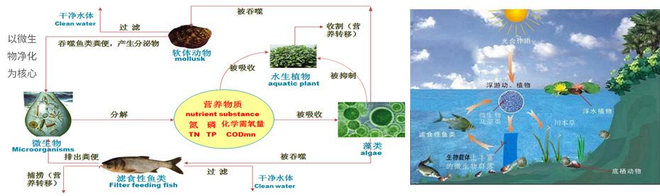 水生态系统构建—微生物-植物-动物组成